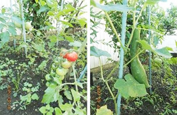 成長している野菜